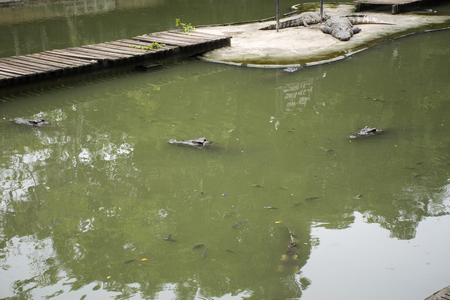 Crocodiles sleeping and resting and swimming in pool for show travelers people visit looking at the park