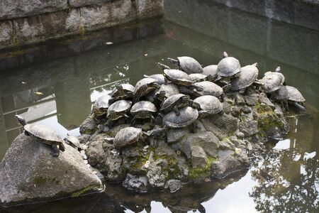 Turtle  and Tortoise on stone decoration design in pond of garden japanese style in Naritasan plum garden of Narita public park at Chiba Prefecture in Tokyo, Japan