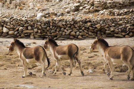 Himalayas mountains and Equus kiang or wild asses eating food at grassland on Diskit Turtok Highway and Pangong lake road while winter season at Leh Ladakh in Jammu and Kashmir, India