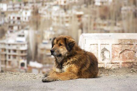 Tibetan Mastiff or Canis lupus familiaris dog sleeping relax on floor in Leh Ladakh village in Jammu and Kashmir, India at winter time Stok Fotoğraf