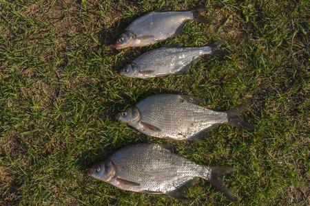 Fresh-caught river fish bream on green grass.