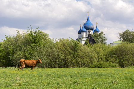 Typical Russian landscape. Cow grazing in the meadow. The domes of the Church can be seen in the distance. Suzdal, Russia.
