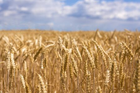 Ripe ears of wheat. New crop in the field Imagens