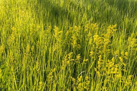 Green tall grass in the field. Grass stems and narrow leaves