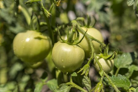 Immature tomatoes on a branch. Tomato Bush in the garden