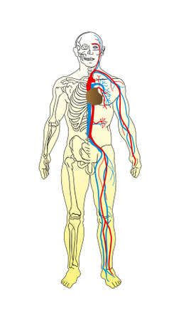 tendons: the man anatomy - skeleton and vascular system vector
