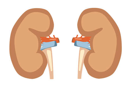 Kidney Vector Illustration. Colorful vector illustration in flat style. Archivio Fotografico - 125603338
