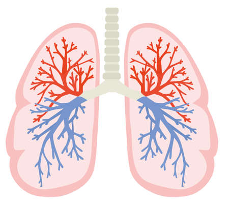 A human lungs. Part of anatomy human body model with organ system. Colorful vector illustration in flat style.