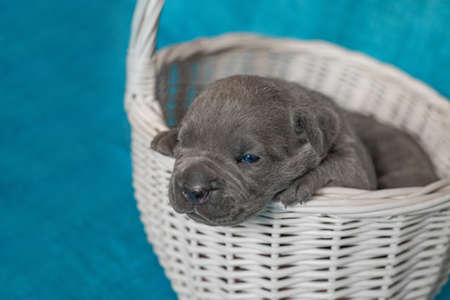 Cute puppies Cane Corso in a rattan basket.Blue background