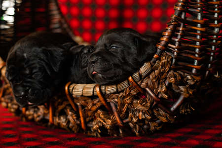 Cute little black puppies breed Italian Cane Corso in a rattan basket.
