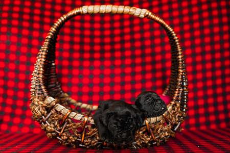Cute little black puppies breed Italian Cane Corso in a rattan basket. Standard-Bild