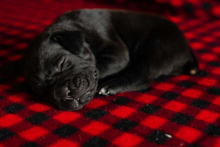 One cute little black Italian cane Corso puppy is sleeping . Stock Photo