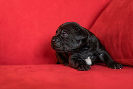One cute little black puppy of the Italian cane Corso breed . Red background Stock Photo