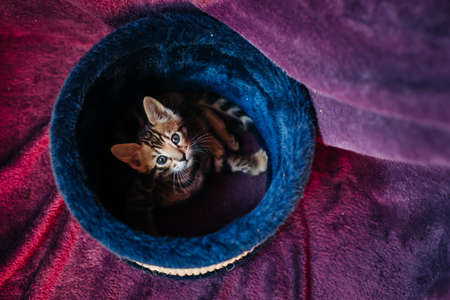 A playful Bengal kitten looks at the camera from the top of its scratching post