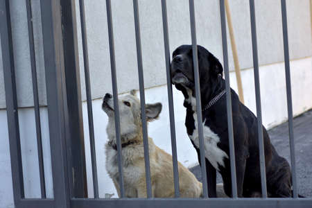 Image of two guard dogs behind iron fence bars gate Stock Photo