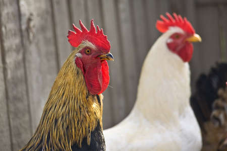 Two cocks in a hen house photo
