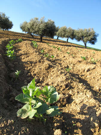 view of a field of beans with the olive trees in the background                                photo