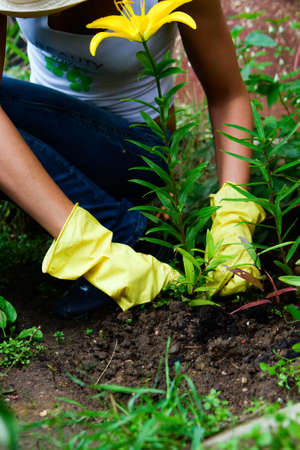 a person in gloves working in the garden with yellow lily photo