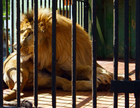 big lion lying in the cage in the zoo photo