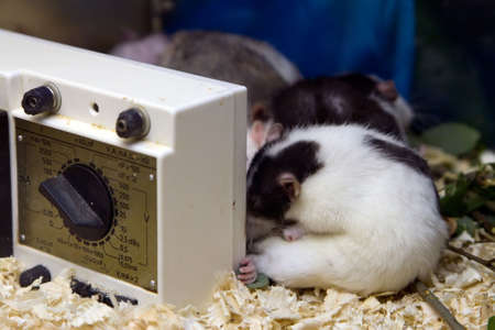 white with black research mice for scientific experiments photo