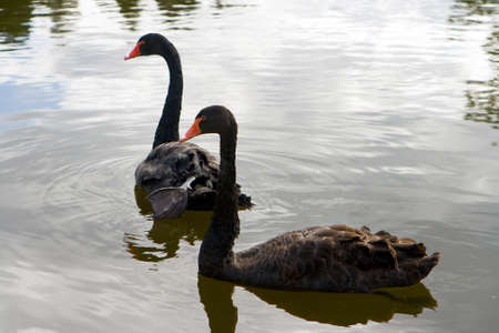 two beautiful black swans swimming in the pond photo