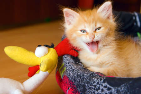 beautiful red kitten yawning with open mouth photo