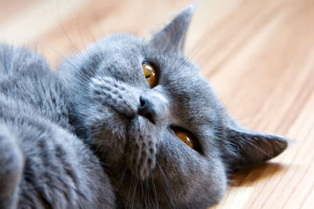 pacification: closeup lying grey brittish cat with orange eyes Stock Photo