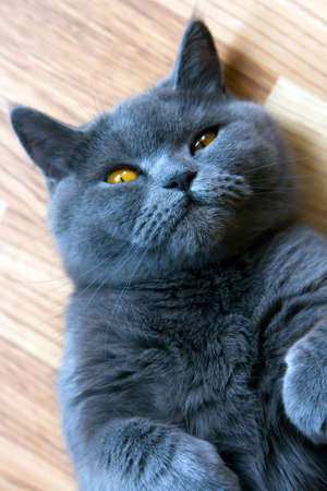 closeup lying grey brittish cat with orange eyes Stock Photo - 5675853