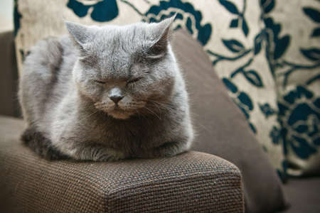 pacification: close-up sleeping grey british cat with closed eyes Stock Photo
