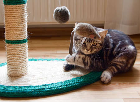 a British Shorthair kitten with the classic tabby markings is playing with toy mouse
