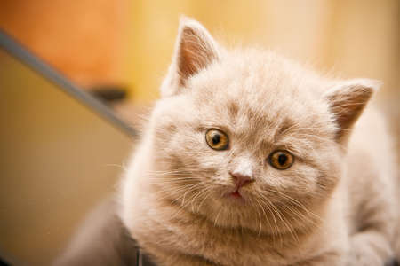 close-up newborn little lilac british kitten Stock Photo - 8012715