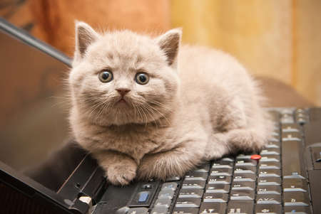 close-up little british lilac kitten lying on a laptop