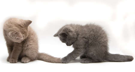 two playing british kittens - lilac and grey, isolated on white background Stockfoto