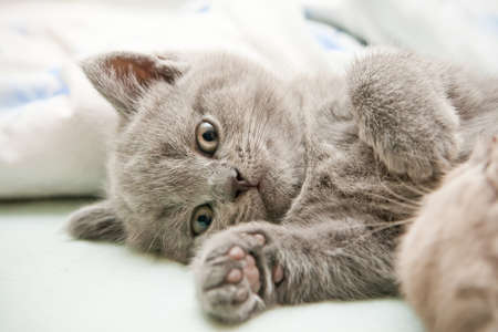 close-up lying little grey british kitten photo