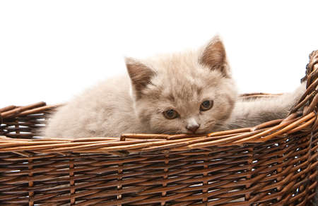 close-up lilac british kitten in a basket, isolated on white background photo
