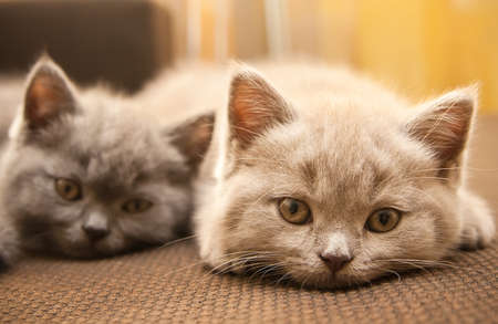 grey cat: two british kittens - lilac and grey, looking at the camera, focus on the lilac kitten