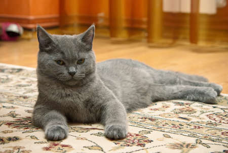 grey british kitten lying on a carpet photo