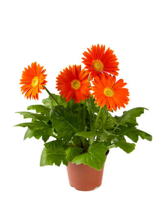 herbera: orange herbera in flowerpot, isolated on white background