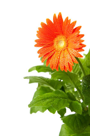orange gerbera with drops on it, isolated on white background