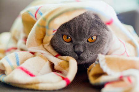 little grey british cat lying under blanket photo