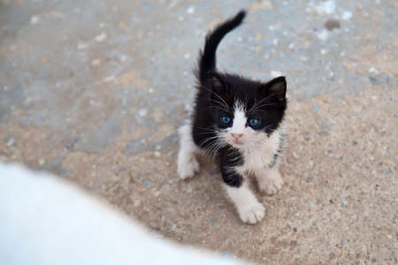 cocked: very little black and white kitten with blue eyes and cocked tail Stock Photo