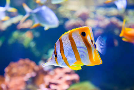 rostratus: close-up of Beaked Coralfish  Chelmon rostratus