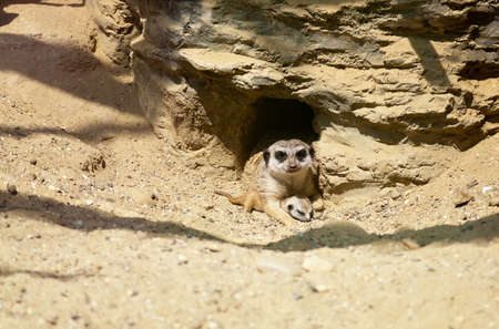 close-up meerkat protecting its little cub photo