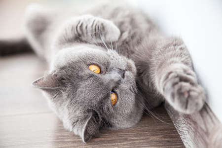 foreleg: lying grey brittish cat stretching its foreleg Stock Photo
