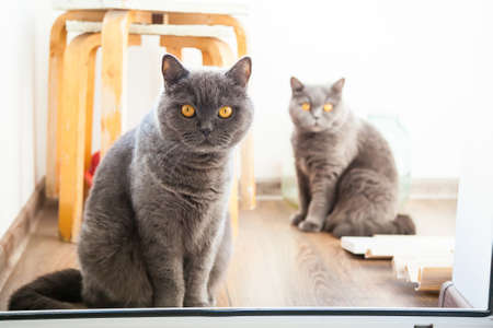 eyes opened: two grey british cats looking with wide opened orange eyes