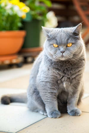 severe: severe grey british cat with bright yellow eyes Stock Photo