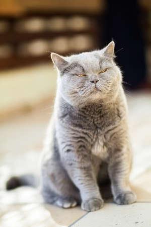 screwing: sitting british cat screwing up its eyes