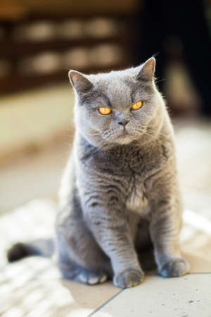 gray cat: unpleased british gray cat