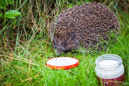 close-up small hedgehog in green grass drinking milk Stockfoto