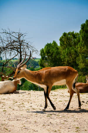 the springbok antelope (Antidorcas marsupialis) in the italian zoo 版權商用圖片